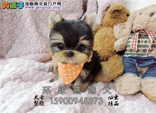湖南约克夏可爱聪明可爱幼犬待售全国发货