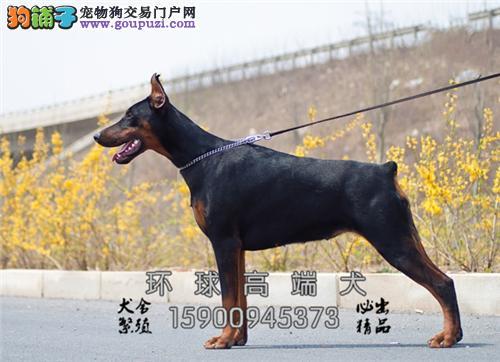 湖南杜宾顶级健康犬带证书全国发货