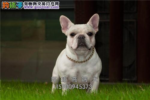 湖南最大犬舍法牛新生自然尾全国发货