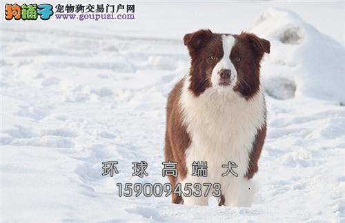 边境牧羊犬低价出售信誉和品质有保证