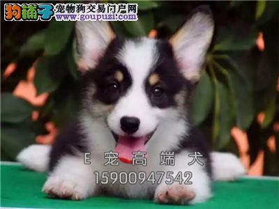 宁夏家养柯基纯种健康威尔士犬全国发货