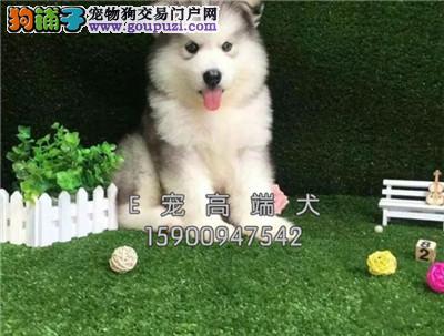 出售阿拉斯加幼犬证书齐全血统纯正签协议纯种健