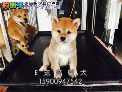 宁夏柴犬自家养纯种微笑犬全国发货