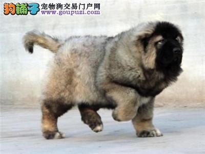 石嘴山极品顶级高加索幼犬送用品
