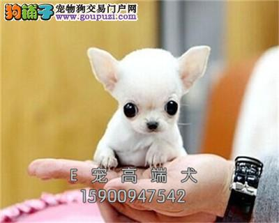 吴忠犬舍出售三个月吉娃娃袖珍带证书