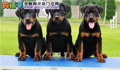 宁夏最大犬舍罗威纳新生下单有礼全国发货