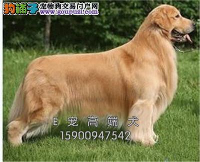 宁夏犬舍金毛纯种猎犬保健康全国发货