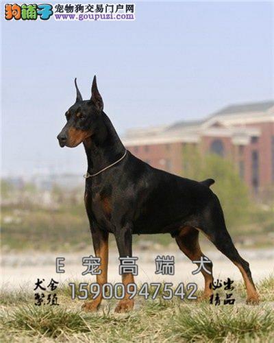 宁夏杜宾骨量足灵性犬驱虫已做全国发货
