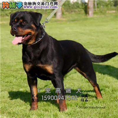 银川专业繁殖顶级罗威纳幼犬血统纯正