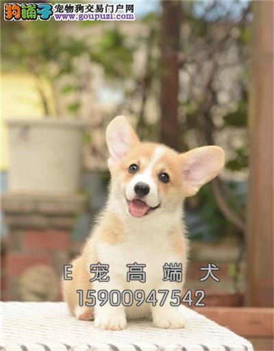 出售纯种柯基犬 幼犬 精心培育 送用品 签协议包养活