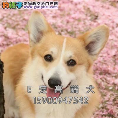 河南出售柯基可爱犬全国包运全国发货