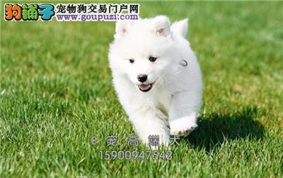 信阳最大犬舍赛级纯种萨摩耶犬公母均有