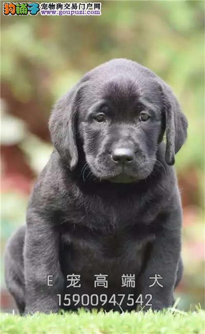 河南家养拉布拉多带证书幼犬待售全国发货