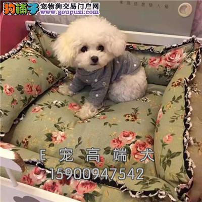 焦作纯种健康韩系泰迪驱虫已做幼犬待售