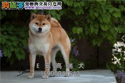 河南家养秋田顶级小犬包纯种全国发货
