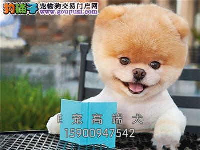 河南犬舍博美出售小包纯种全国发货