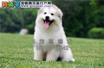 四川阿拉斯加新生极品巨型犬全国发货