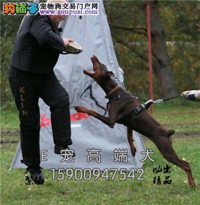 四川家养杜宾漂亮自家养威猛犬全国发货