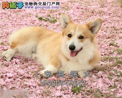 四川柯基出售小幼犬送用品全国发货