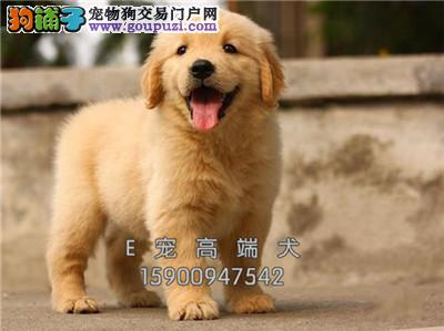 基地直销纯种金毛犬可上门 保健康签协议