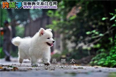 四川犬舍萨摩耶高品质阳光犬全国发货