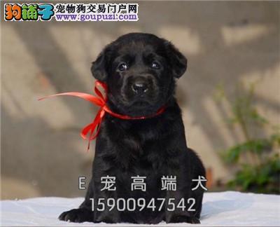 犬舍销纯种 拉布拉多 可上门 保健康签协议