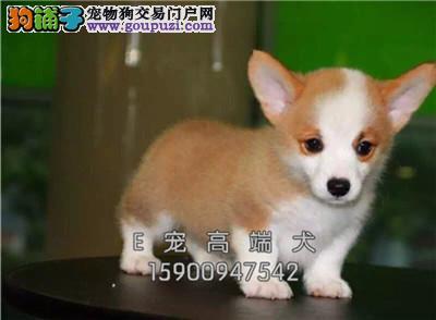 四川出售柯基出售狗狗全国发货