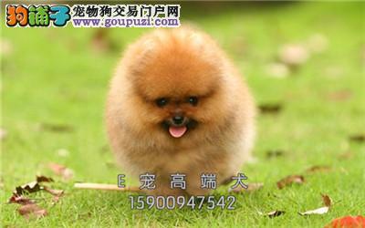 犬舍出售 纯种博美 当日下单半价 质量保证