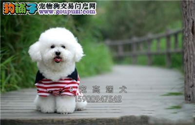 四川比熊高品质好养超萌犬保健康全国发货