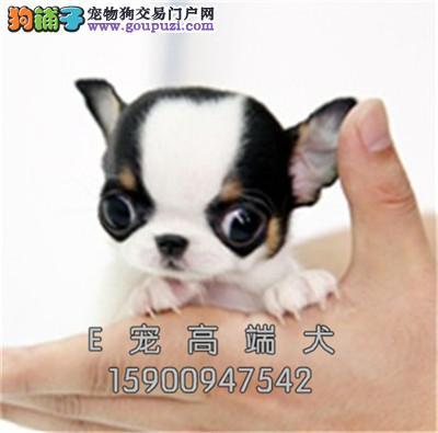 犬舍出售 纯种吉娃娃 健康品质保证