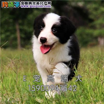 出售 纯种边境牧羊犬 高品质 上门送货