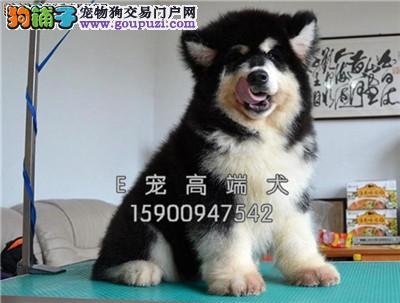 四川犬舍阿拉斯加小雪橇犬送用品全国发货