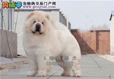 犬舍售松狮健康品质保证