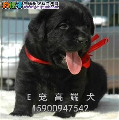 犬舍出售 拉布拉 多当日下单半价质量保证