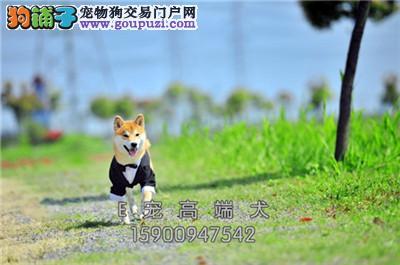 犬舍出售 纯种 秋田犬 健康品质保证