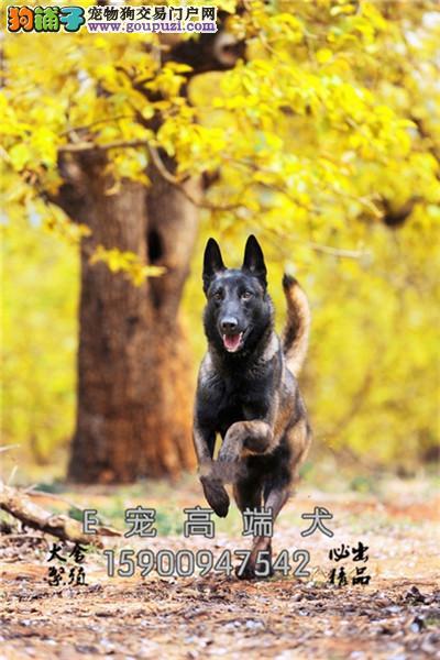 四川便宜出售马犬可爱包纯种全国发货