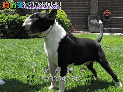 四川犬舍牛头梗低价出售送用品全国发货