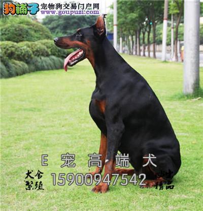 泸州正规犬舍精品高品相三个月杜宾幼犬