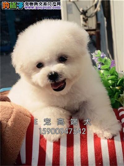 四川比熊健康可爱卷毛犬送用品全国发货