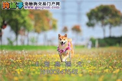 四川秋田乖巧健康日系犬保健康全国发货