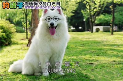 四川萨摩耶出售微笑狗狗送用品全国发货