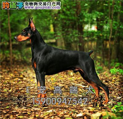 四川杜宾漂亮三个月犬保健康全国发货