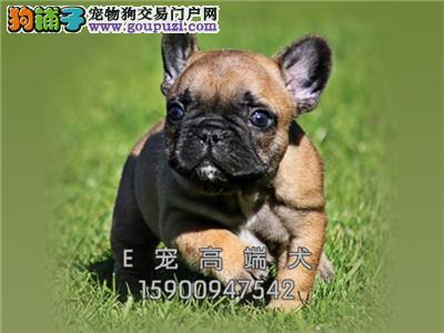 犬舍直售 纯种法牛 幼犬 可上门 疫苗已做