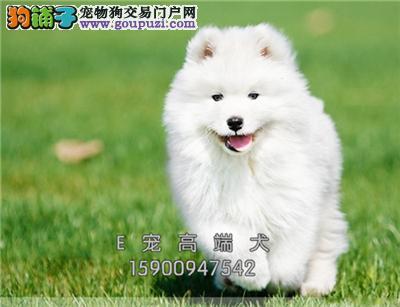 青岛专业繁殖帅气微笑萨摩耶幼犬