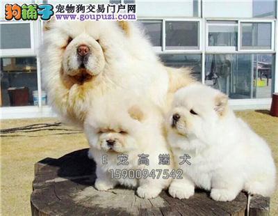 山东松狮顶级肉嘴幼犬驱虫已做全国发货