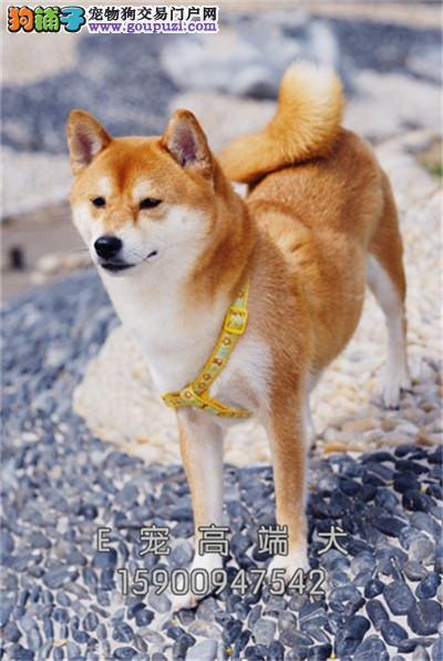 山东柴犬出售小幼犬待售包纯种全国发货