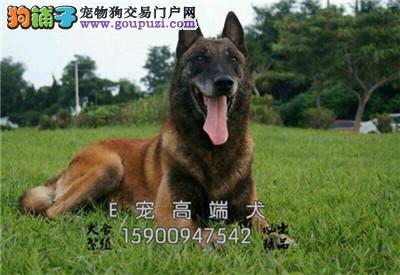 山东马犬专业繁殖低价出售全国发货
