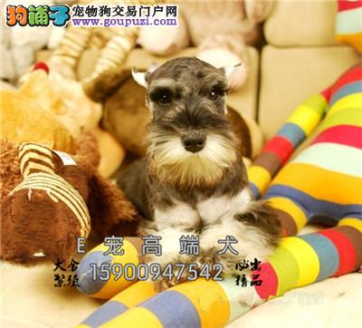 山东出售雪纳瑞出售乖巧犬包纯种全国发货