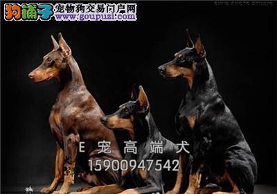狗场只收 杜高犬 杜高幼犬 可上门 疫苗已做