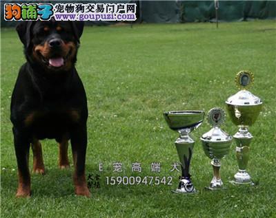 山东罗威纳听话犬送用品保健康全国发货
